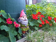 Gnome guarding the allotment amongst the nasturtiums