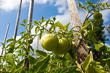 Green tomatoes in the allotment sunshine
