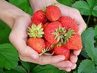 A handful of fresh strawberries