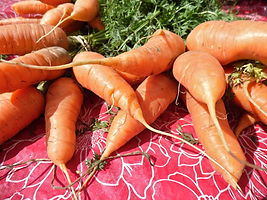 Fresh carrots just harvested from the allotment