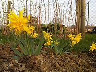 Narcissi growing on the allotment