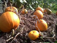 Pumpkins read to harvest on the allotment