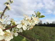 Fruit blossom at the allotments