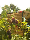 Raspberries ripening in the allotment sunshine