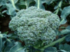 Fresh broccoli on the allotment
