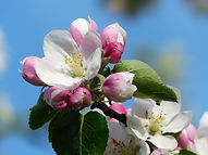 Apple blossom in the spring time at the allotments