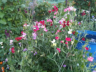Sweet peas growing on the allotment