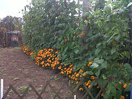 Companion planting on the allotment with runner beans and marigolds