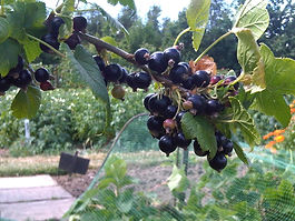 Allotment fruit blackcurrants