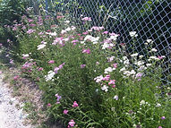Wild flowers on the allotment