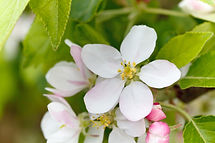 Apple blossom on the allotments