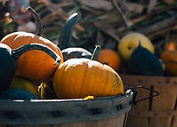 Fresh pumpkins from the allotment
