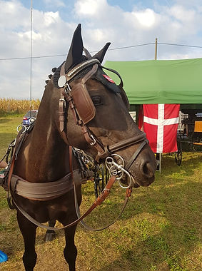 Pony klar til dressur.jpg