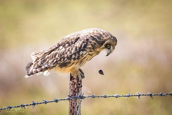 Darcy pueo owl pellet.jpg