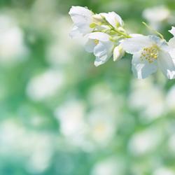 JASMIN - Jasminum grandiflorum