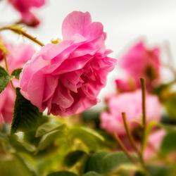 ROSE - Rosa damascena