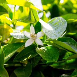 NEROLI - Citrus aurantium flos