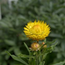IMMORTELLE - (Strohblume) Helichrysu