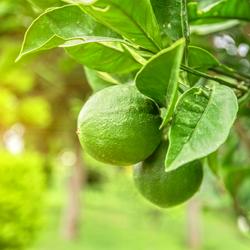LIMETTE - Citrus aurantiifolia