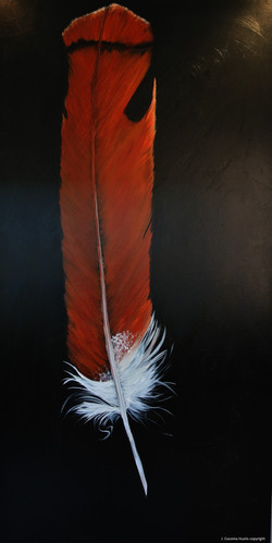 Red -Tailed Hawk Tail Feather