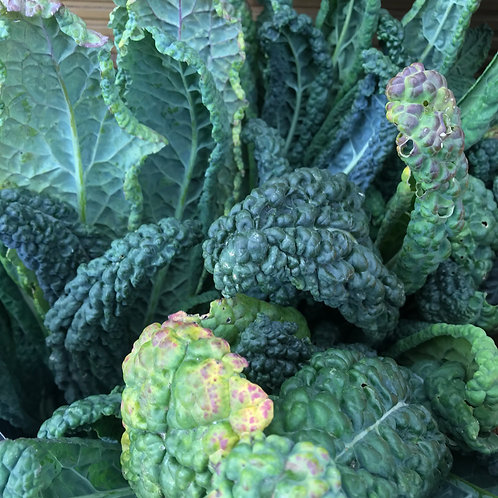 TACONS CAVALLO NERO (BUNCH)