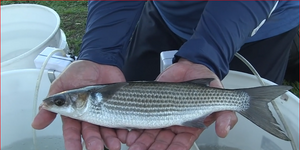 This video is about Mullet Research B-Roll & SOTS, 2-21-19
