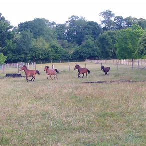 Antics of the foals we have grazing the fields at Parke