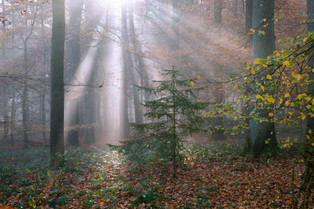 Baumberge forest rays