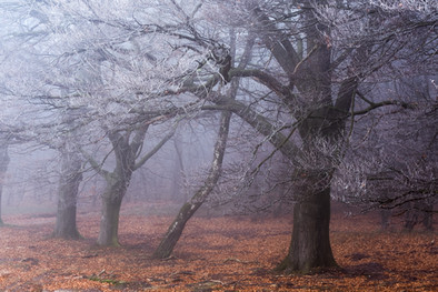 Fading Beeches (2)