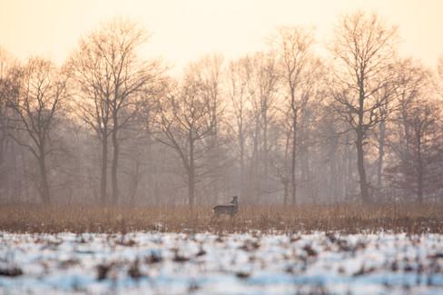 Borderland roe buck
