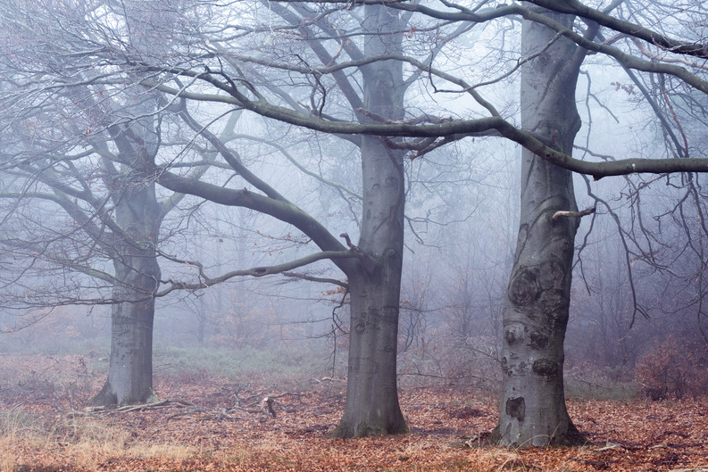 Fading Beeches