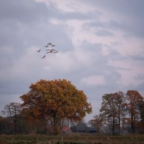 Geese over Twente