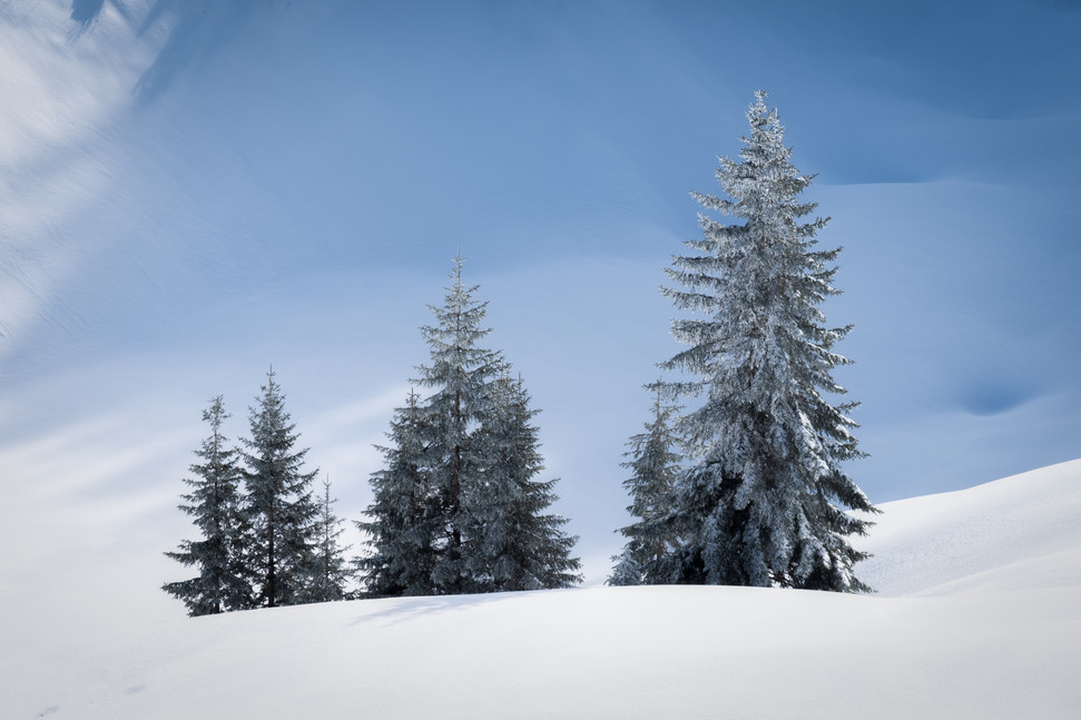 Family of Winter pines