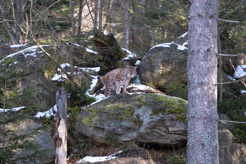 Lynx in the Bavarian Forest