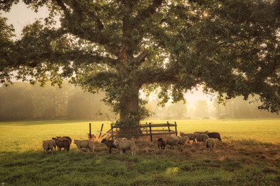 Under the old oak tree