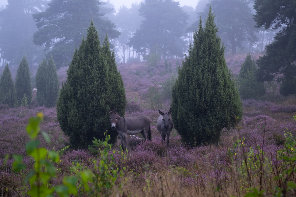 Chunky donkeys in blooming heather
