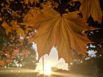 Sunset Maple.jpg
