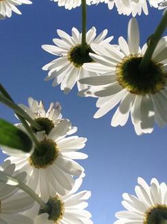 Upward Daisies.jpg