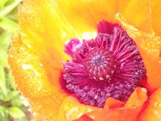 Sunshine Poppy.JPG