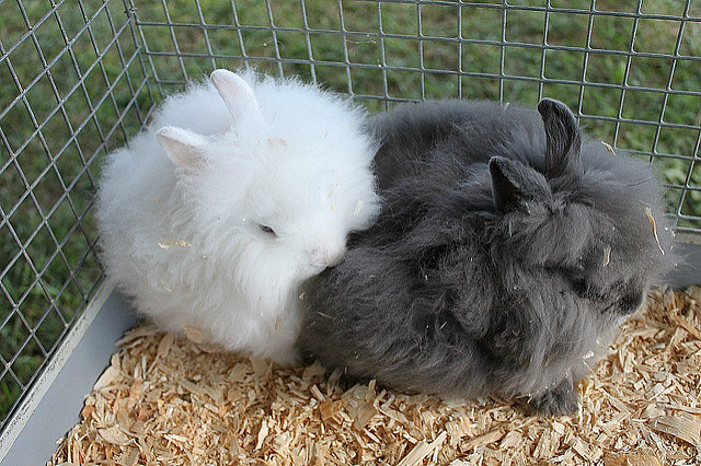 two-angora-bunny-rabbits-cuddling-flickr-photo-sharing.jpg