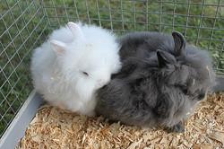 two-angora-bunny-rabbits-cuddling-flickr-photo-sharing.jpg