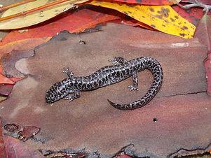 flatwoods_salamander.jpg