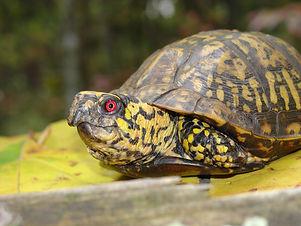 box_turtle_djs.jpg