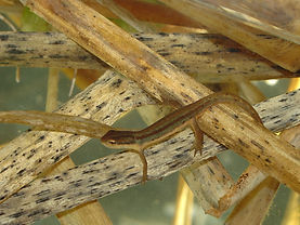 project_photo_striped_newt_01.jpg