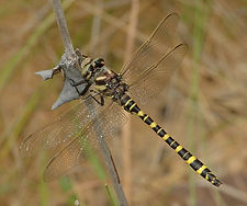 project_photo_Say_s_Spiketail_2005_04_22