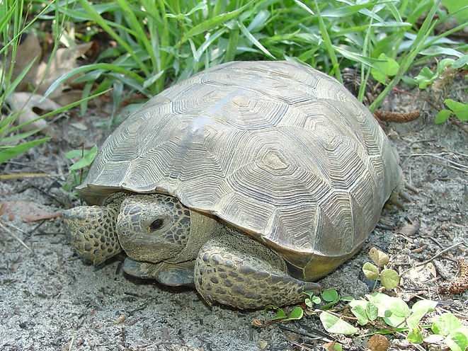 gopher_tortoise_Liberty_Co_ga - Copy (2)