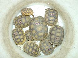 tortoise_relocation.jpg
