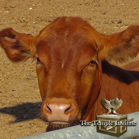 THE MYSTERY OF THE RED HEIFER: DIVINE PROMISE OF PURITY