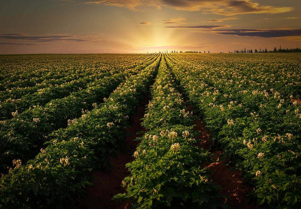 aardappelveld.jpg
