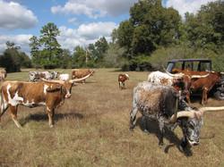 Y4 Registered Texas Longhorn Cattle